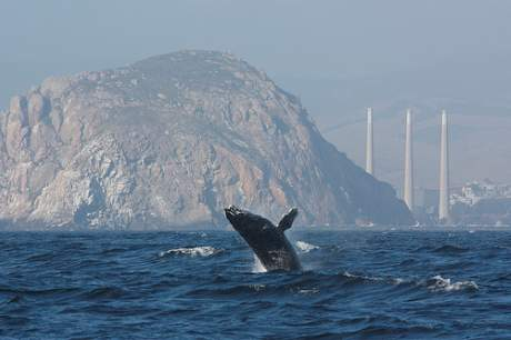 PFASs can now be found in the environment across the globe. Picture shows a humpback whale off the coast of California. Photo: Devra Cooper.