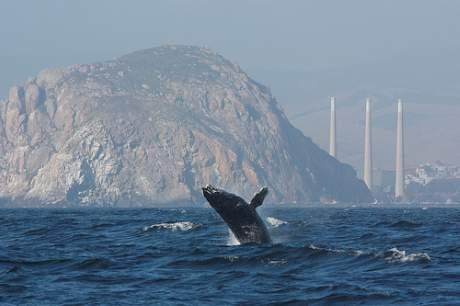 PFAS-ämnen finns numera spridda i miljön världen över. På bilden en knölval utanför USAs västkust. Foto: Devra Cooper.