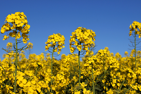 Rapeseed can be protected from insects by neonicotinoid insecticides. Photo: iStockphoto, copyright: mtreasure