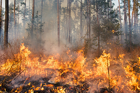 A forest fire in progress. Copyright: Dmytro Gilitukha, from iStockphoto