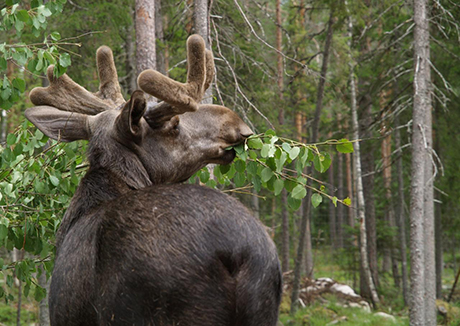 The elk (Alces alces) is one of the most important browsers in Swedish forests. Photo: Anna Fuster/Creative Commons.