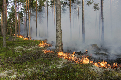 Burning of forest stands can benefit their biodiversity. Photo: Trons/TT bild.