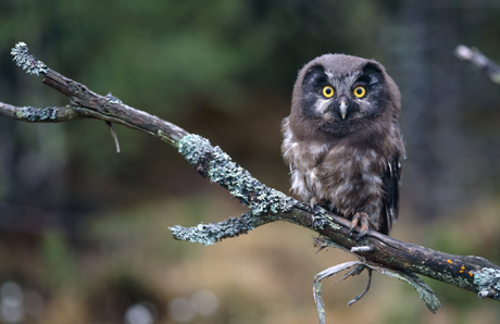 Tengmalm's owl. Photo: Ulf Risberg/N