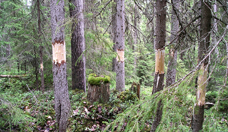Girdled spruce trees. Photo: Göran Eriksson / Länsstyrelsen i Jämtland.